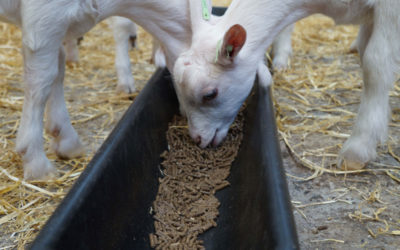 Goats' dung could give farm renewable power