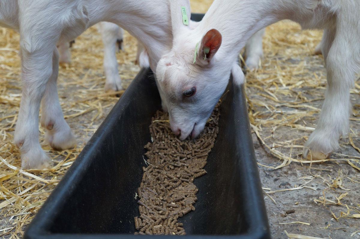 Goat herd at Old Parsonage Farm, Dartington Dairy